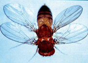 Mutant Fruit Fly